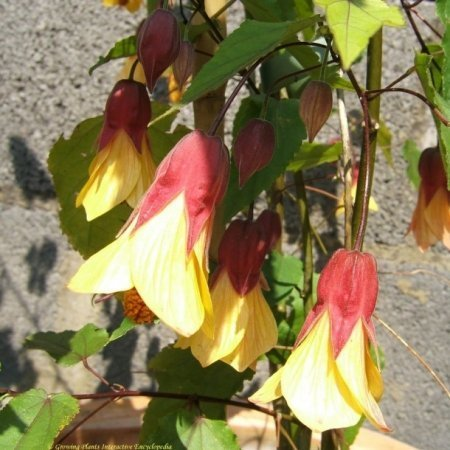 Abutilon 'Kentish Belle' 2