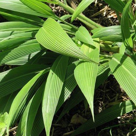 Setaria_palmifolia