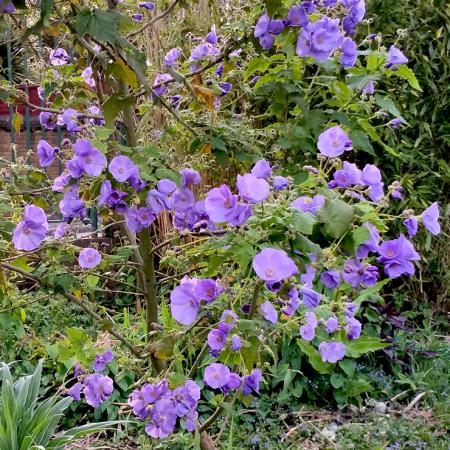 Abutilon-vitifolium
