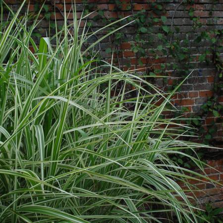 Miscanthus-sinensis-'Variegatus'