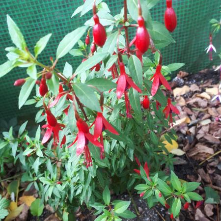 Fuchsia -'David'