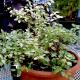 Fuchsia Lottie Hobby 'Variegata'