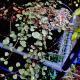 Fuchsia- procumbens -'Wirral'